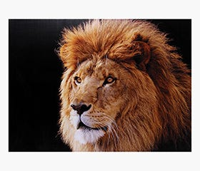 AFRICA Prints - Lion